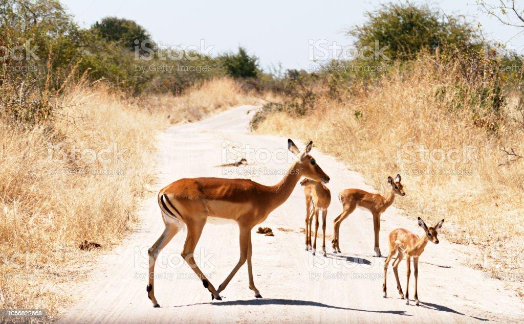 Impala traversant le chemin de terre pendant la saison sèche - Photo