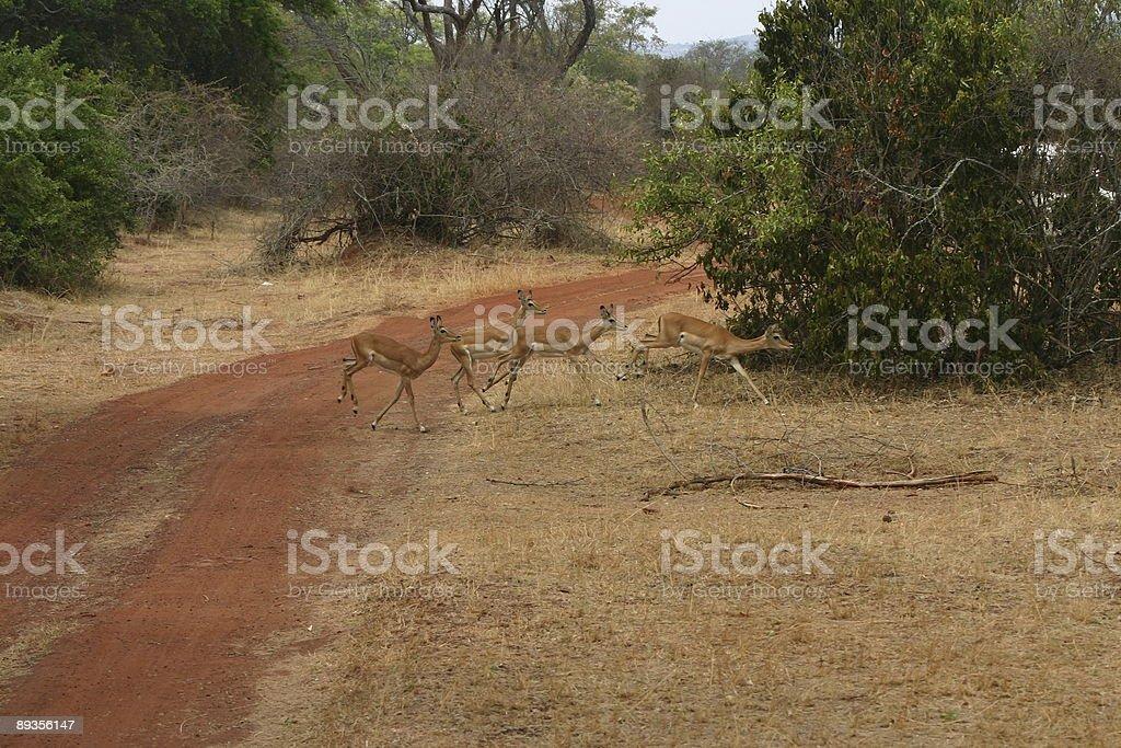 Impala crossing the road royaltyfri bildbanksbilder