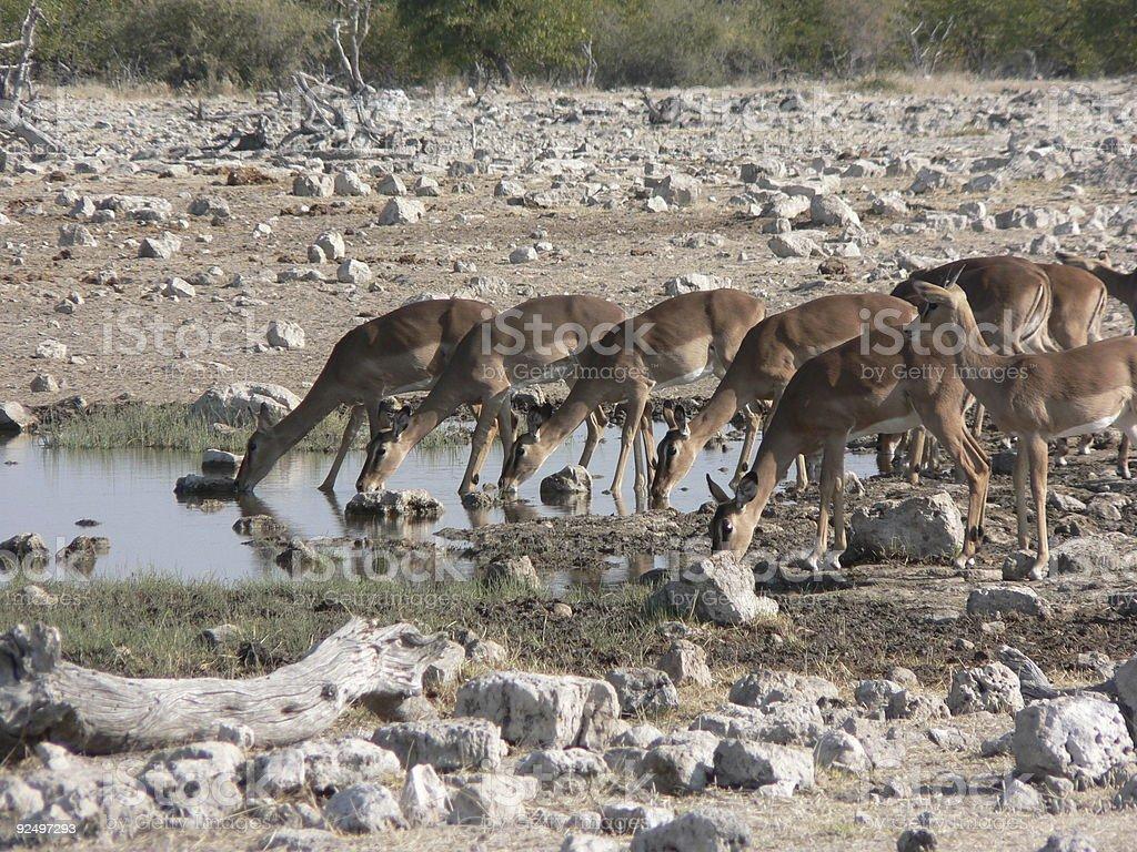 Impala drinking royalty-free stock photo