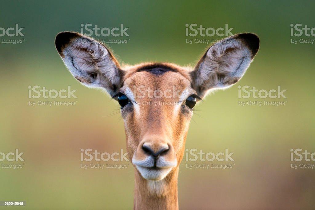 Impala Face royalty-free stock photo