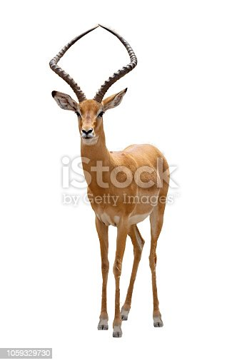 African impala safari animal facing forward. Extracted and isolated on white background.