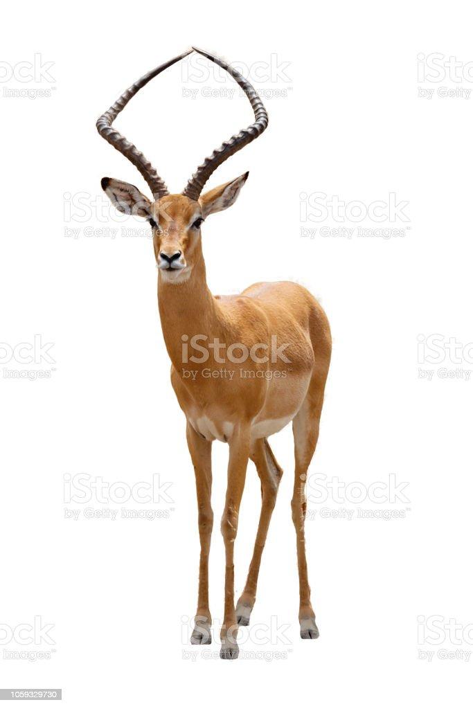Impala-Verkleidung nach vorne extrahiert – Foto