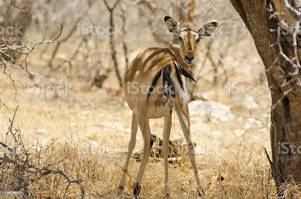 Impala Giving Birth Stock Photo - Download Image Now - iStock
