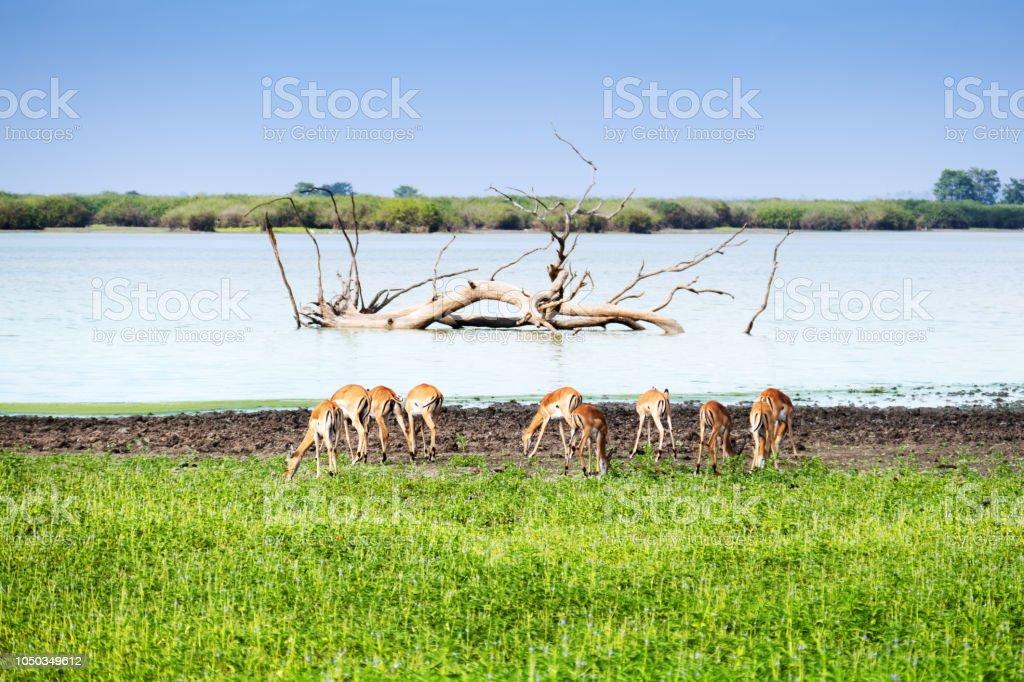 Impala pâturage près du lac dans le gibier de Selous en Tanzanie - Photo