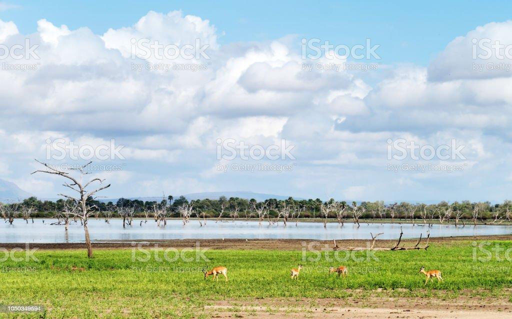 Impala pâturage au bord du lac avec des arbres morts dans le gibier de Selous en Tanzanie - Photo