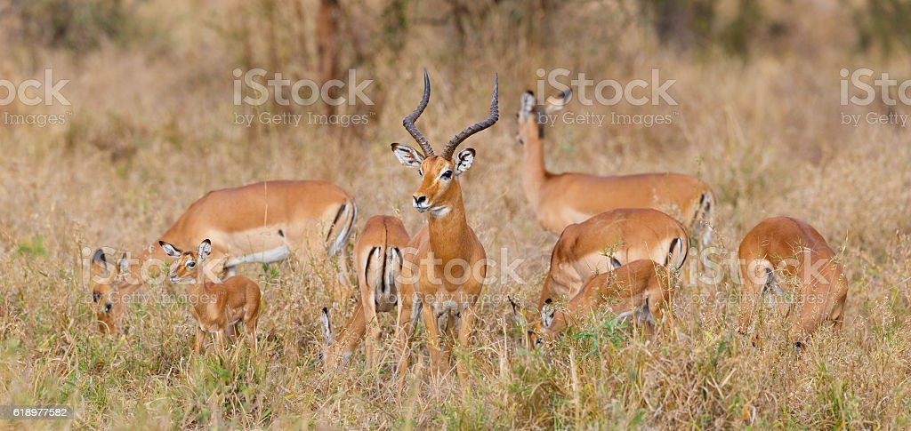 Impala Herd at Tarangire National Park, Tanzania Africa stock photo