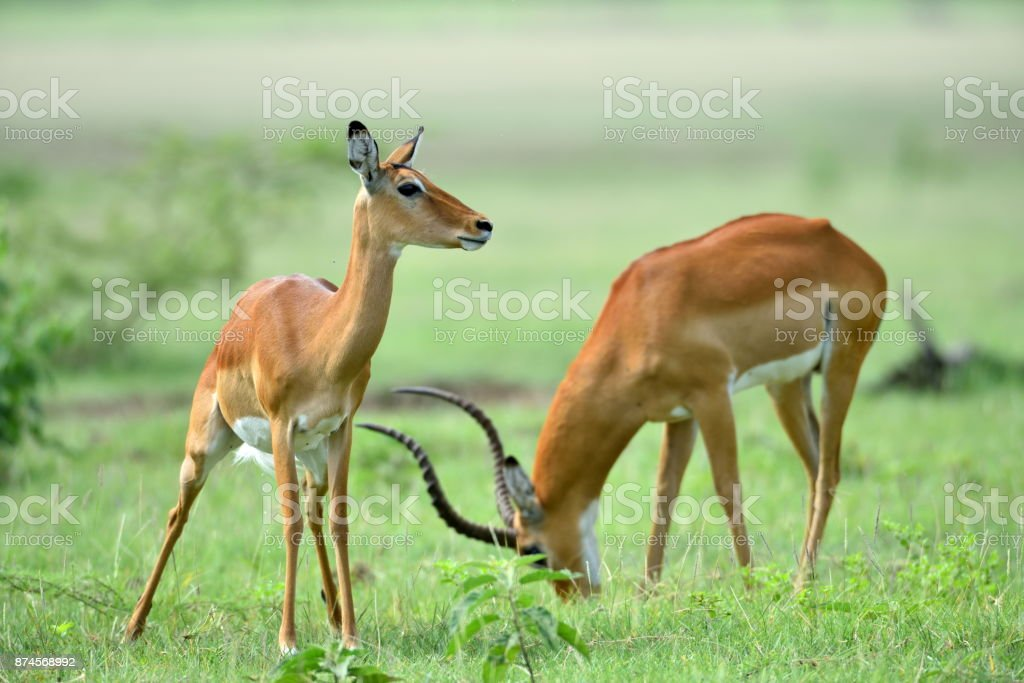 Impala (Aepyceros melampus) in African natural park stock photo