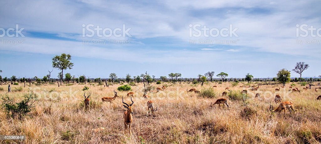 Impala in Kruger National park, South Africa stock photo
