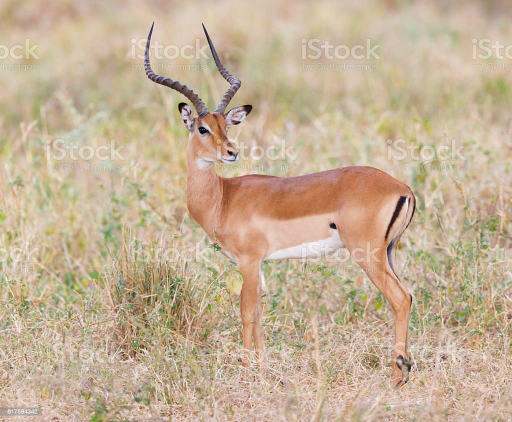 Impala in Tarangire National Park, Tanzania Africa stock photo