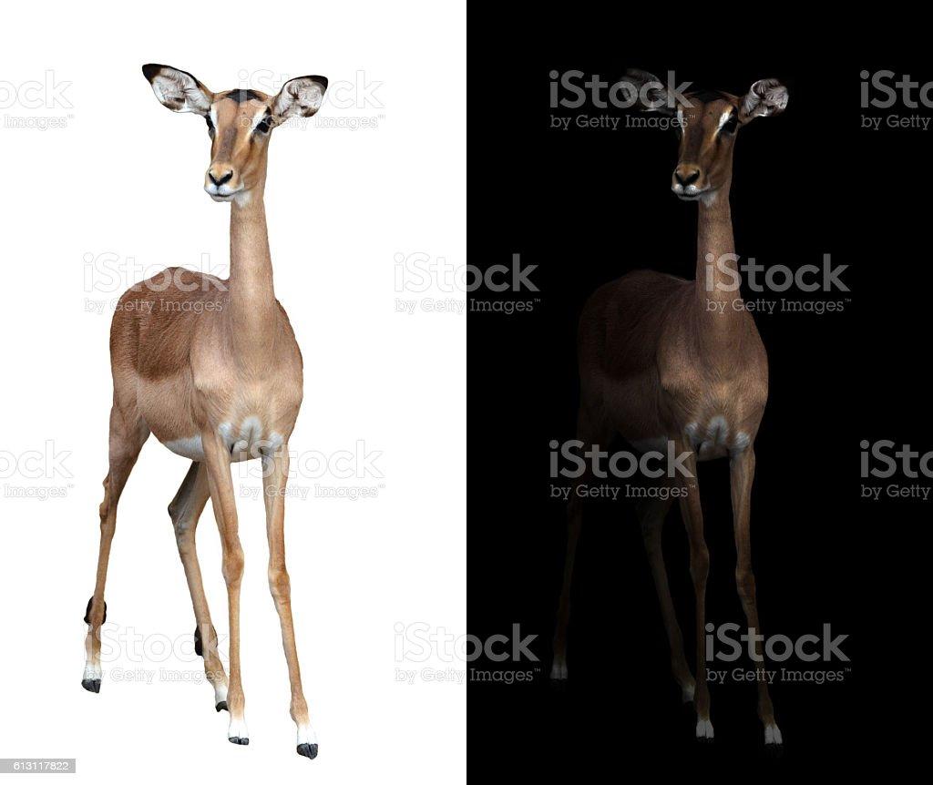 impala in the dark and impala isolated – Foto