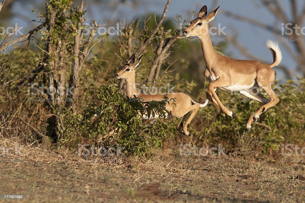 Impala leap in the air stock photo