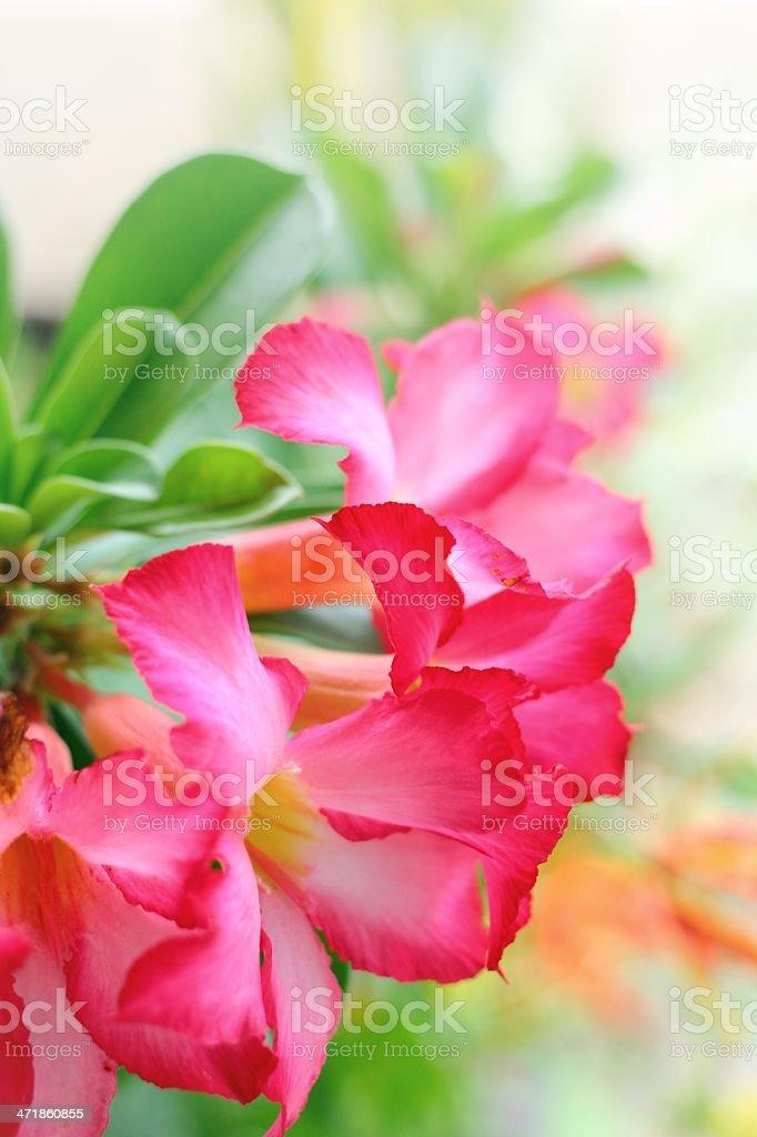 Impala lily adenium royalty-free stock photo