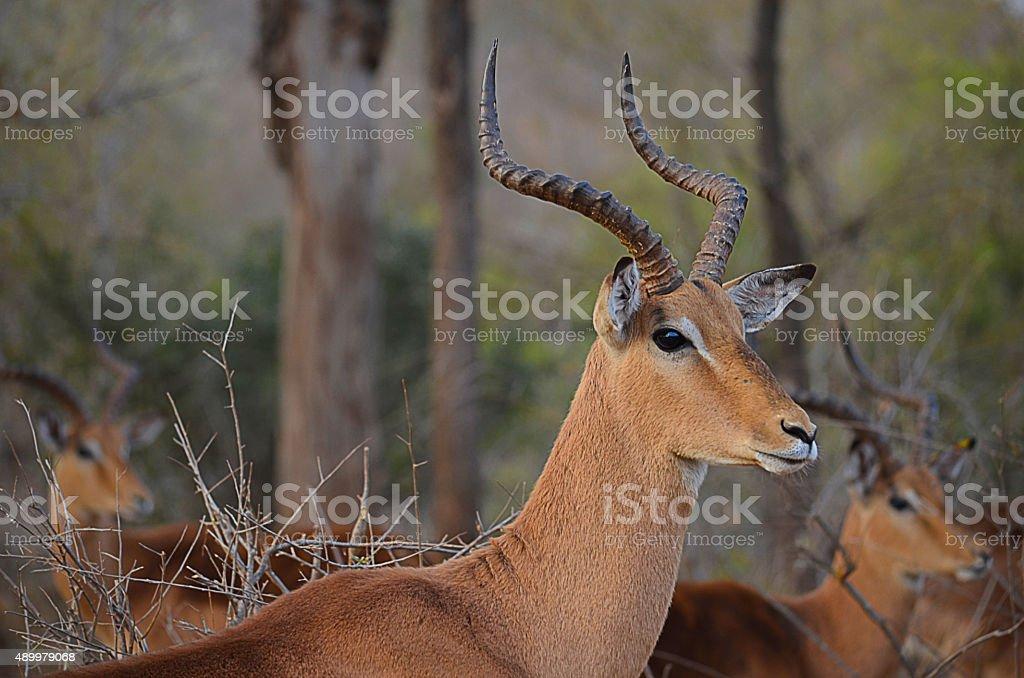 impala looking intently into the bush stock photo