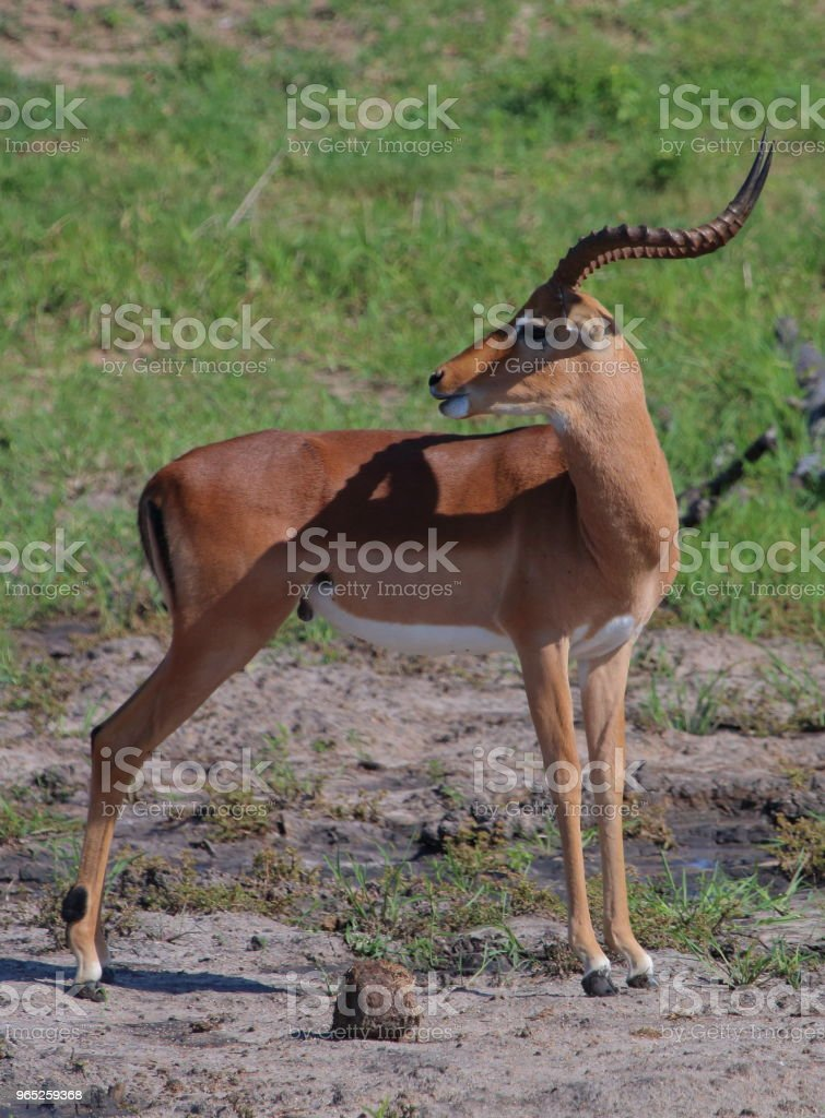 Impala Looking Over his Back royalty-free stock photo