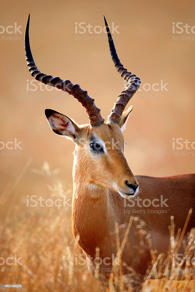 Impala male portrait stock photo