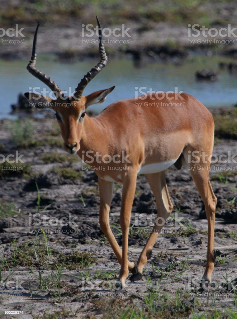 Impala Near a Watering Hole royalty-free stock photo