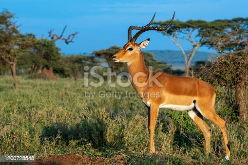 Impala on grasslands of Serengeti National Park, Tanzania