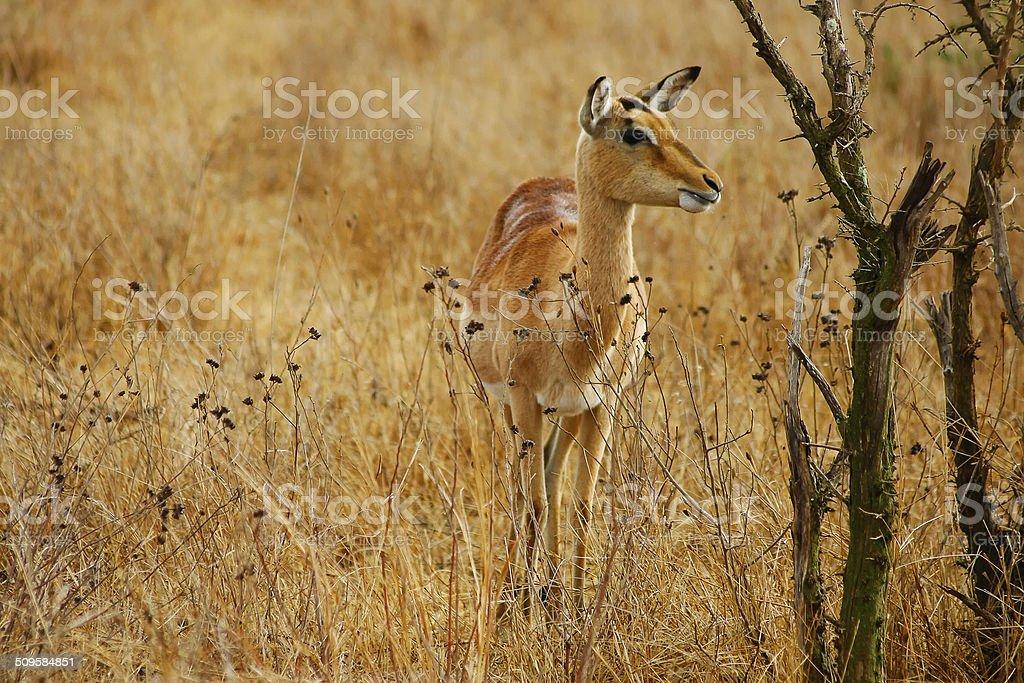 impala on savannah stock photo