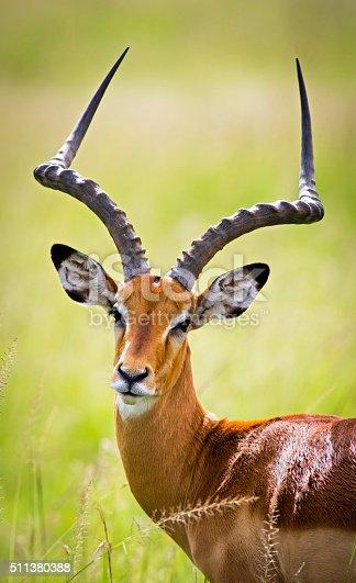 Impala portrait - Masai Mara, Kenya