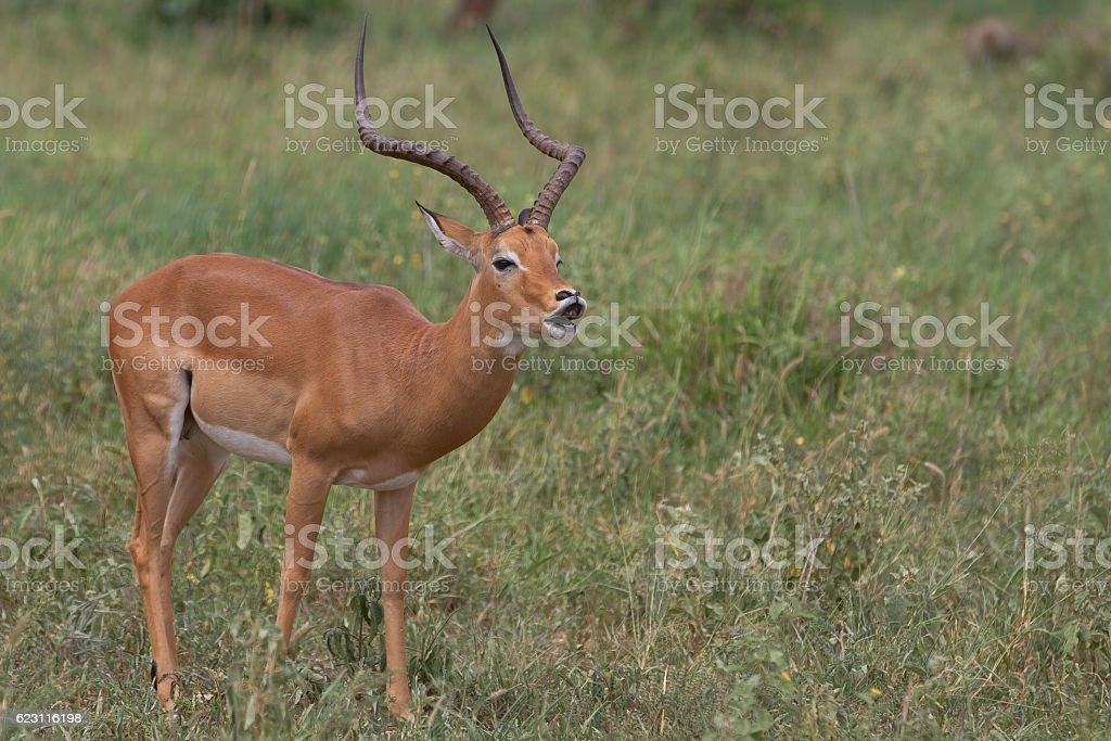Impala Impala from serengeti Africa Stock Photo