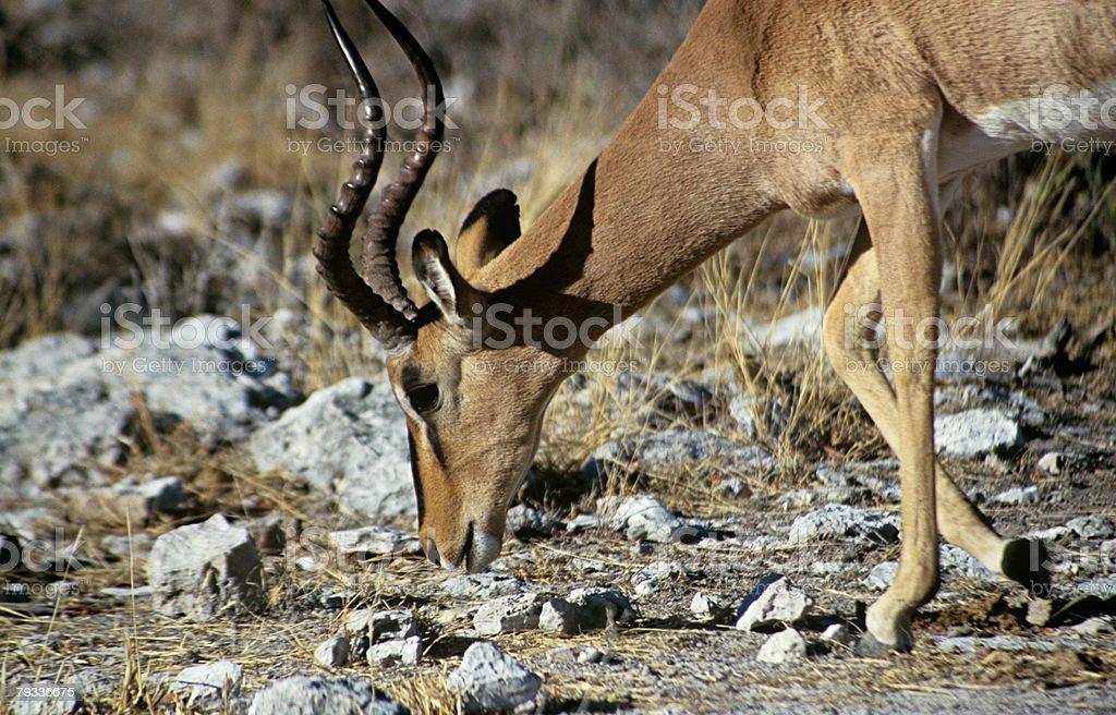 Impala 免版稅 stock photo