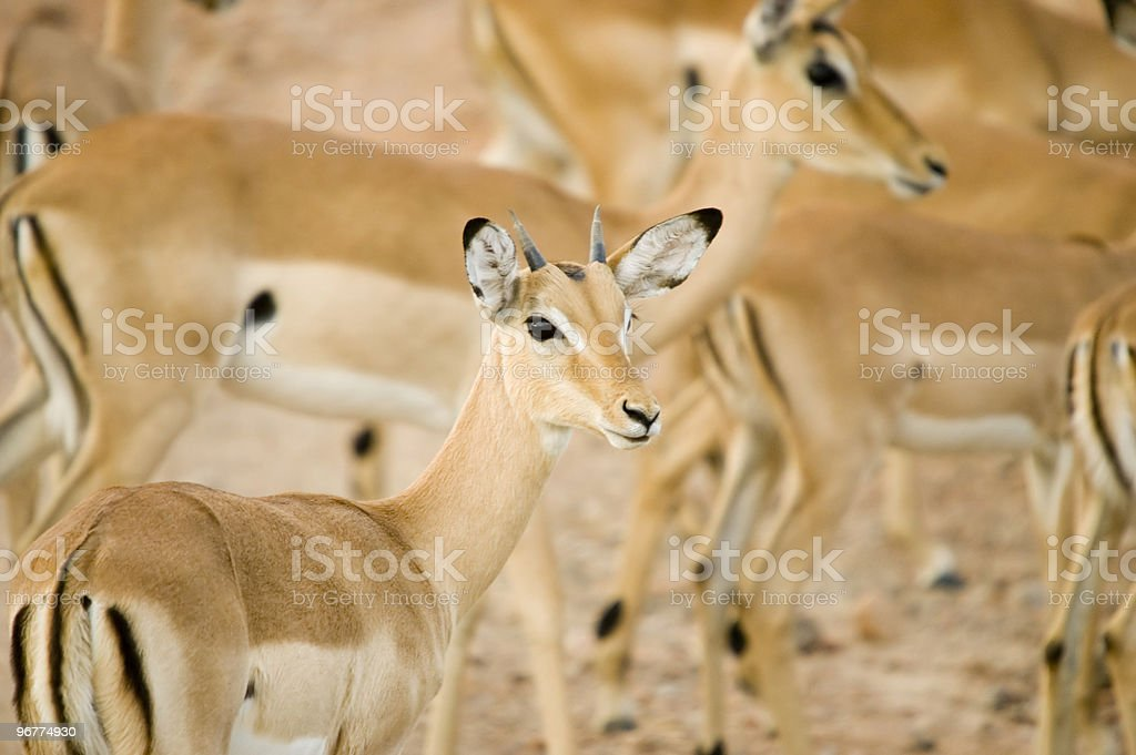 Impala royalty-free stock photo