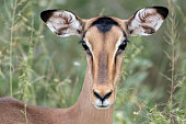 Impala looking straight into the camera. The image was taken in Kruger National Park, South Africa.