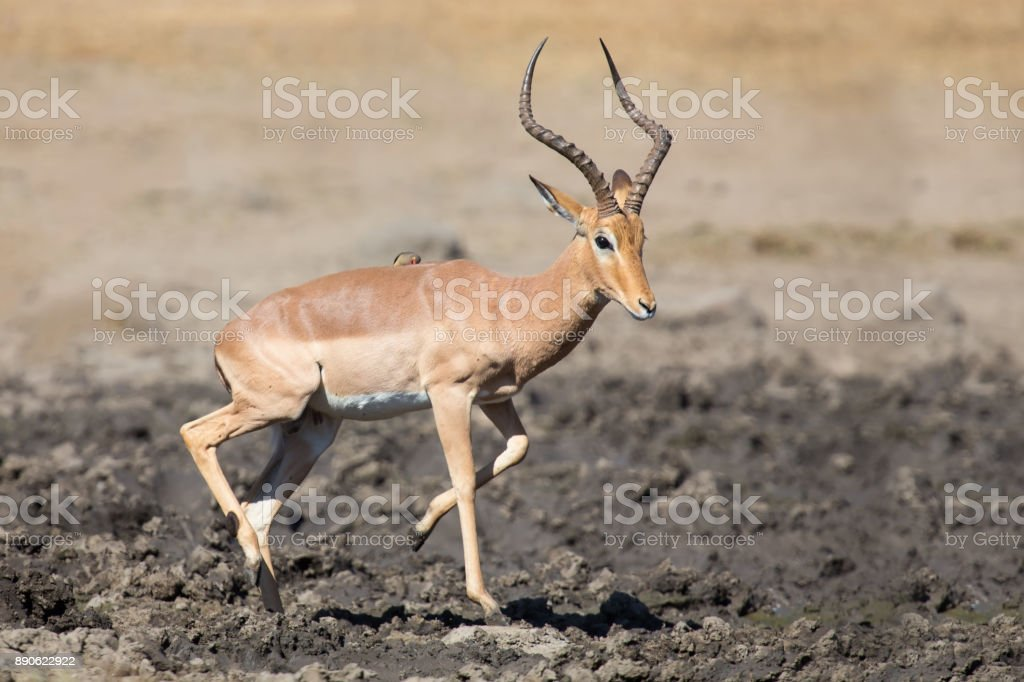 Impala ram drink water from a pond with risk of crocodile stock photo
