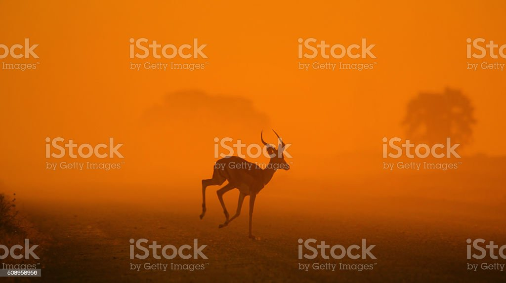Impala Run of Light and Life - African Wildlife stock photo