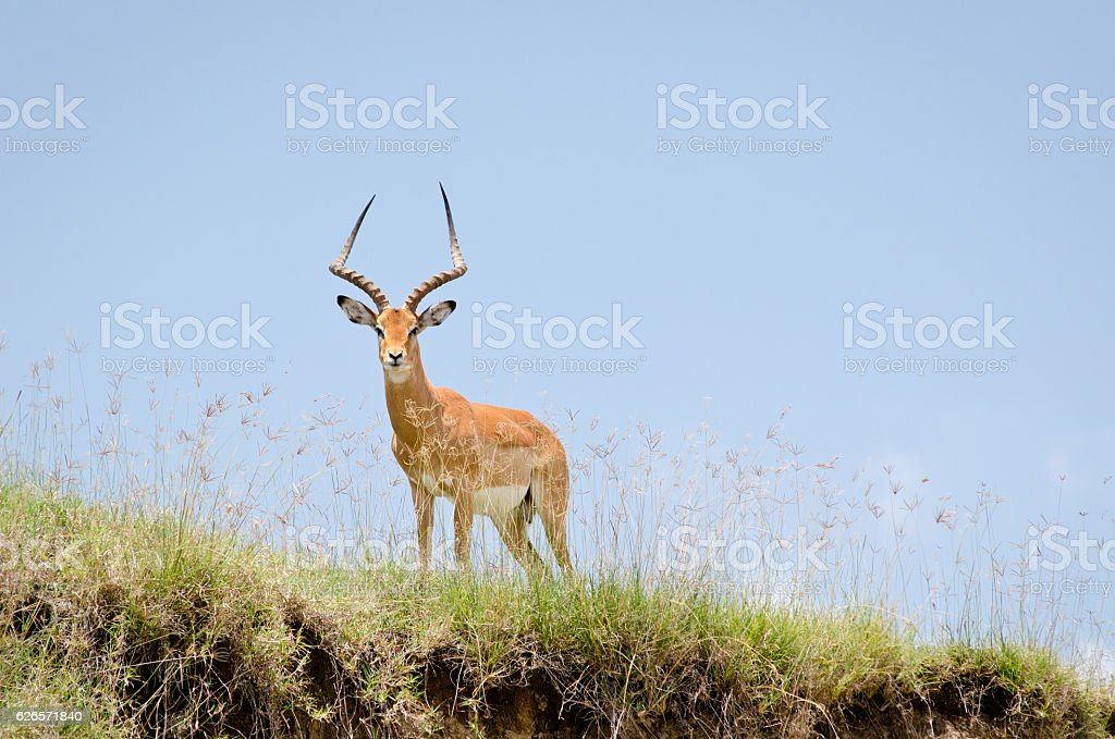 Impala standing on cliff edge. stock photo