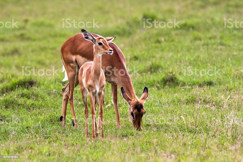 Impala with baby. Nakuru, Kenya stock photo