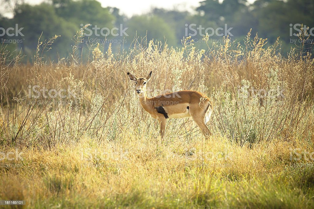 Impala with red-billed oxpecker royalty-free stock photo