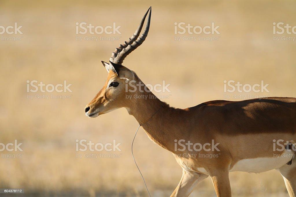 Impala (Aepyceros melampus) with snare around his neck stock photo
