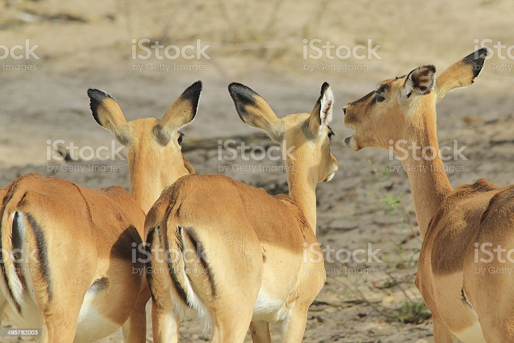 impala yell funny african wildlife backgrounds picture id495782003 - Collection of funny african wildlife photos