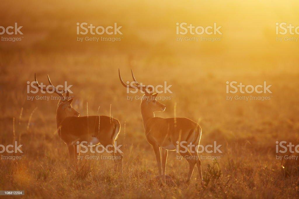 Impalas at dawn stock photo