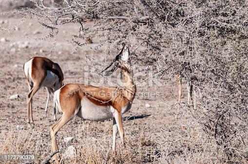 One Impala - Aepyceros melampus- browsing from scrubs in Etosha National Park, Namibia.