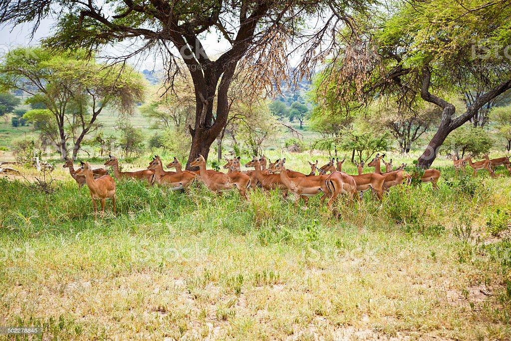 Impalas family in the shade of a tree. Tanzania. royalty-free stock photo