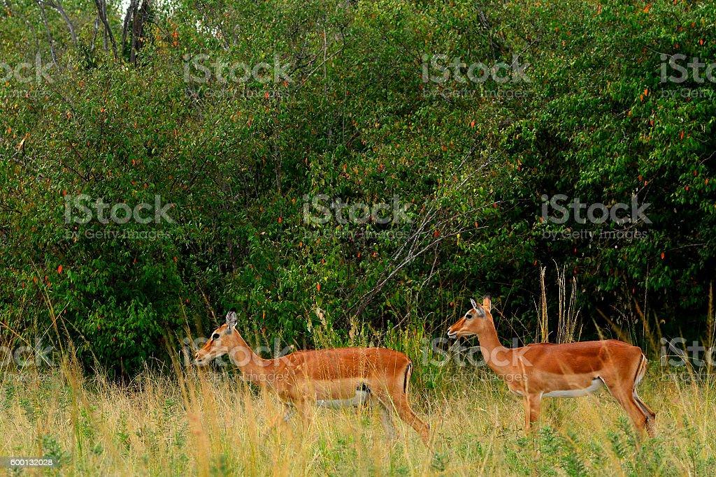 Impalas, Maasai Mara Game Reserve, Kenya stock photo