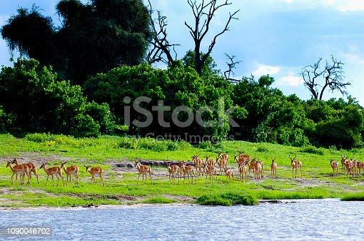 Impalas - Chobe National Park - Botswana