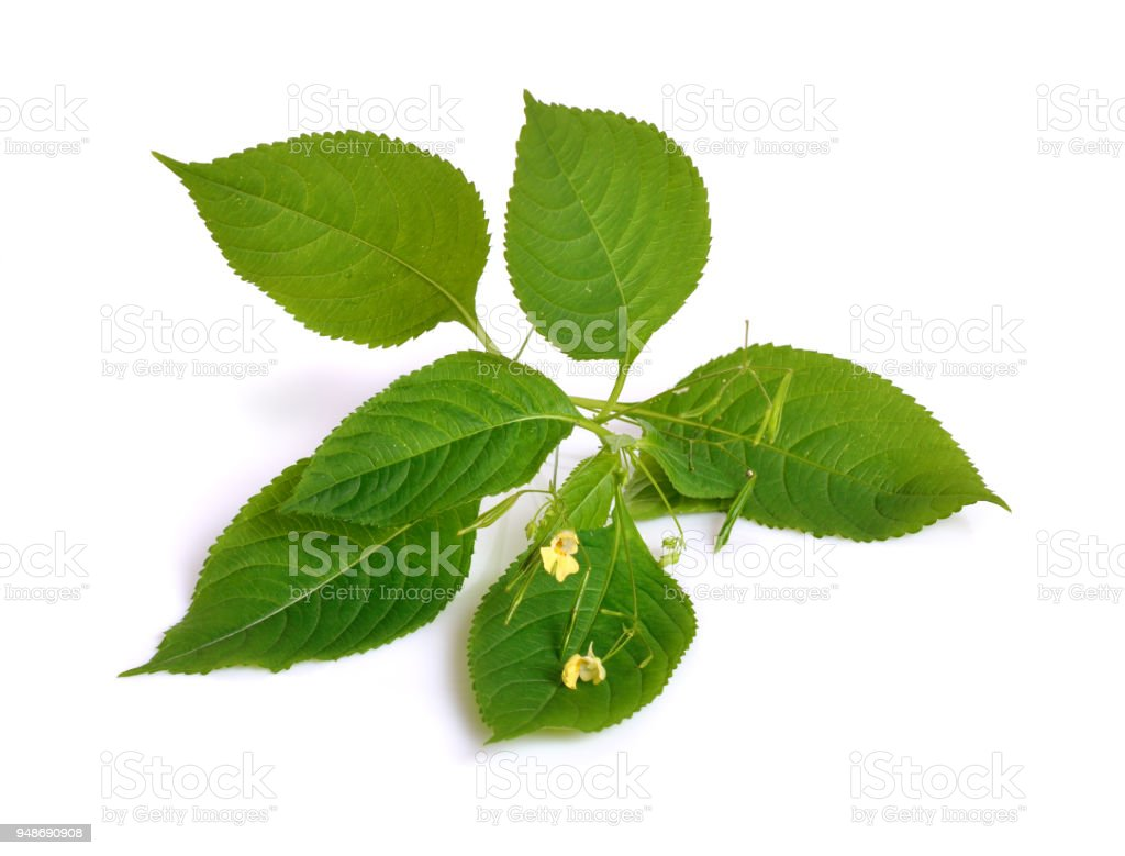 Impatiens. Common names include impatiens, jewelweed, touch-me-not, snapweed, patience. Isolated. stock photo
