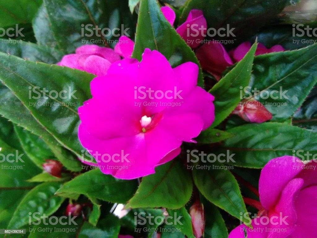 Impatiens flower - Pink stock photo