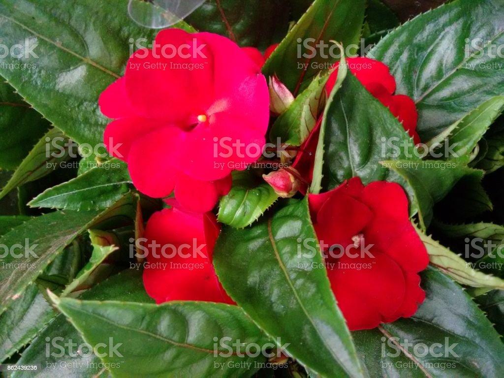 Impatiens flower - Red stock photo