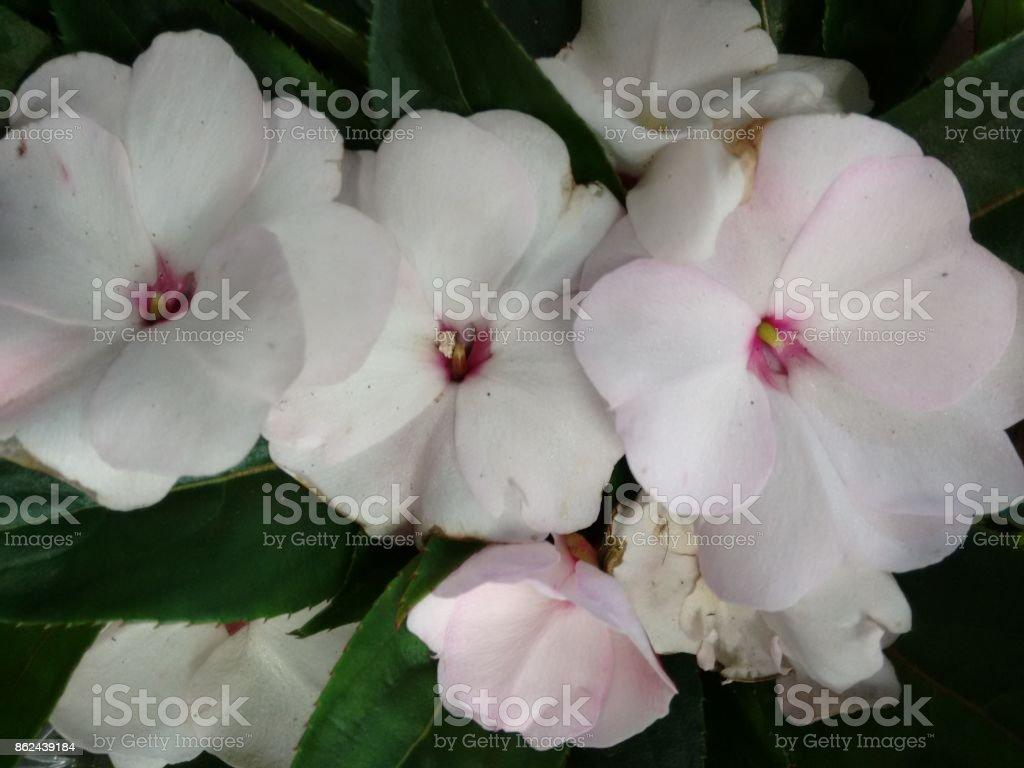 Impatiens flower - White stock photo