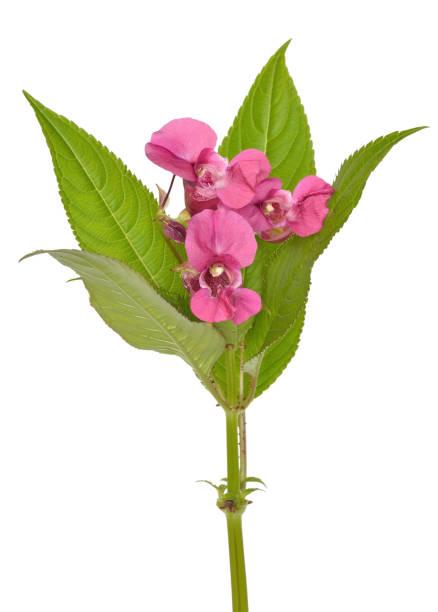 Impatiens glandulifera flowers stock photo