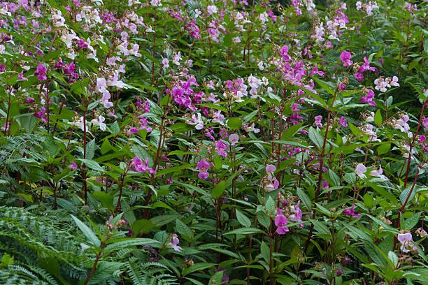 Impatiens glandulifera, Himalayan balsam, flowering. stock photo