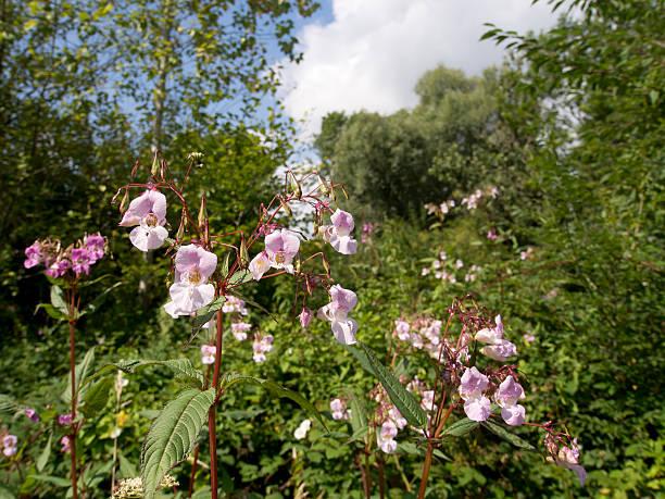 Impatiens glandulifera - Himalayan balsam, problematic invasive stock photo