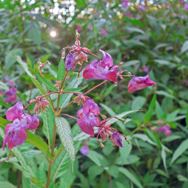 Impatiens glandulifera Royle, plante invasive en France. stock photo