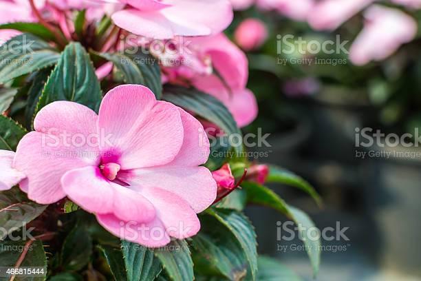 Impatiens hawkeri flowers in front of coleus plants picture id466815444?b=1&k=6&m=466815444&s=612x612&h=o9c7at7abrifsrgktjm8zj68ldz6n7y4e2vbm6bglv8=