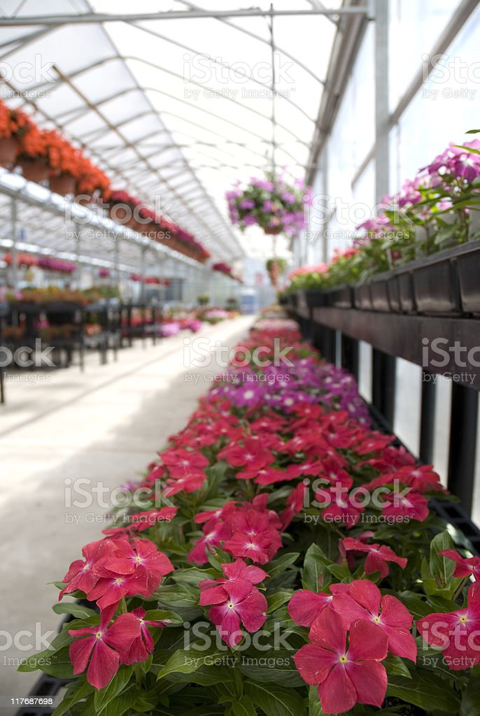 Impatiens in a Greenhouse royalty-free stock photo