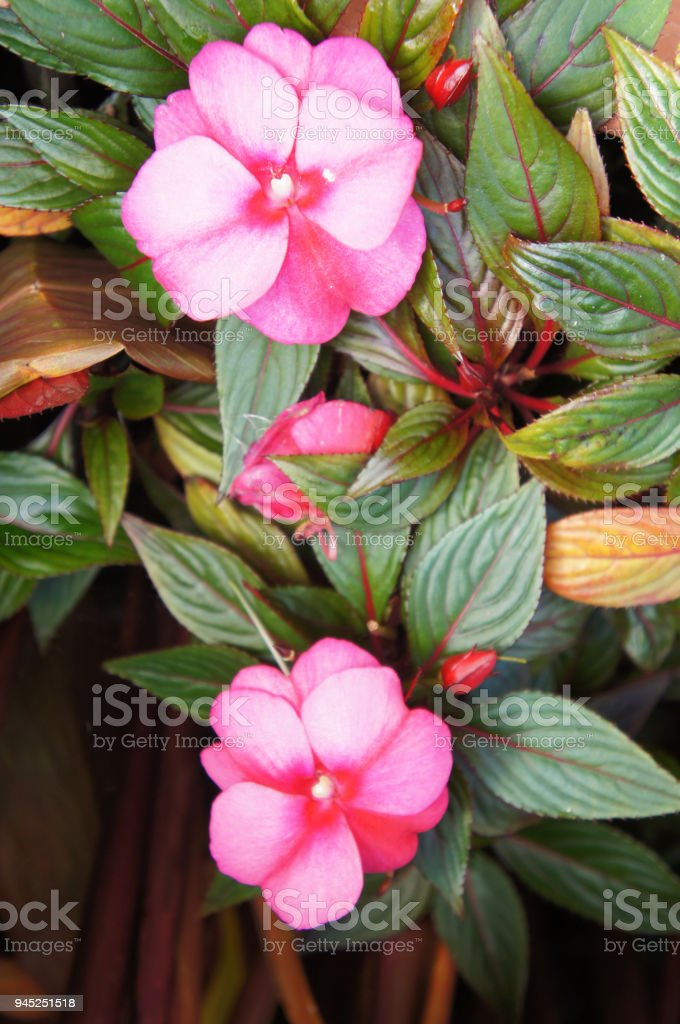 Impatiens walleriana or sultanii or busy lizzie or balsam or sultana or simply impatien pink flowers with green stock photo